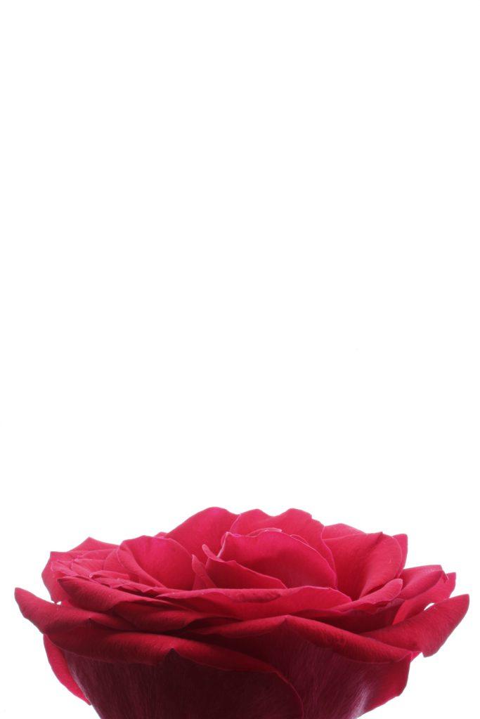417 rosa roja