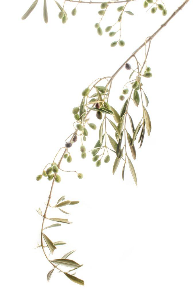 523-olivo