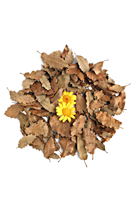 577 crisantemos