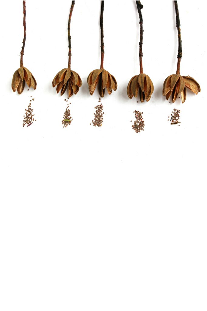 77-fruto-semillas-jara