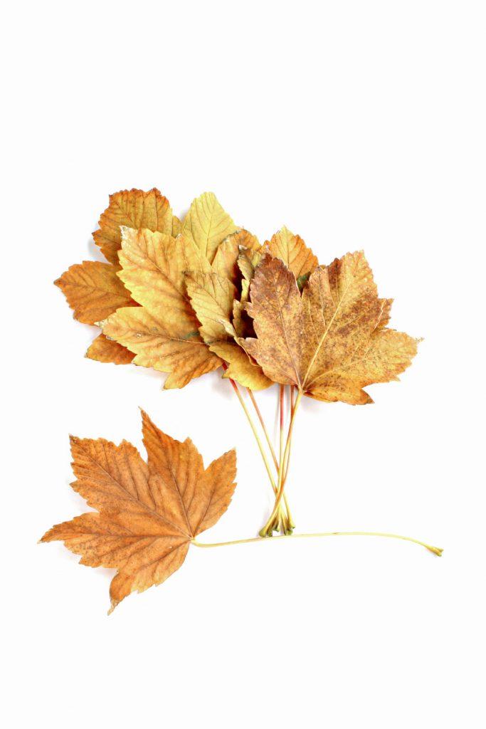 78-hojas-sicomoro