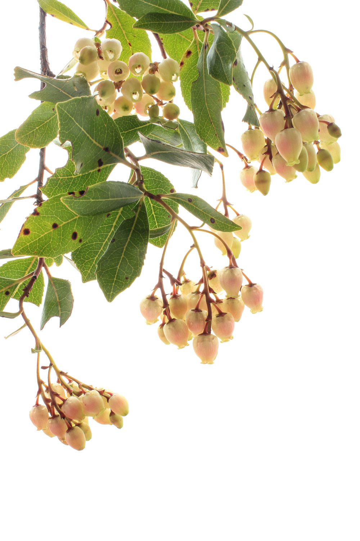 585 flor madroño