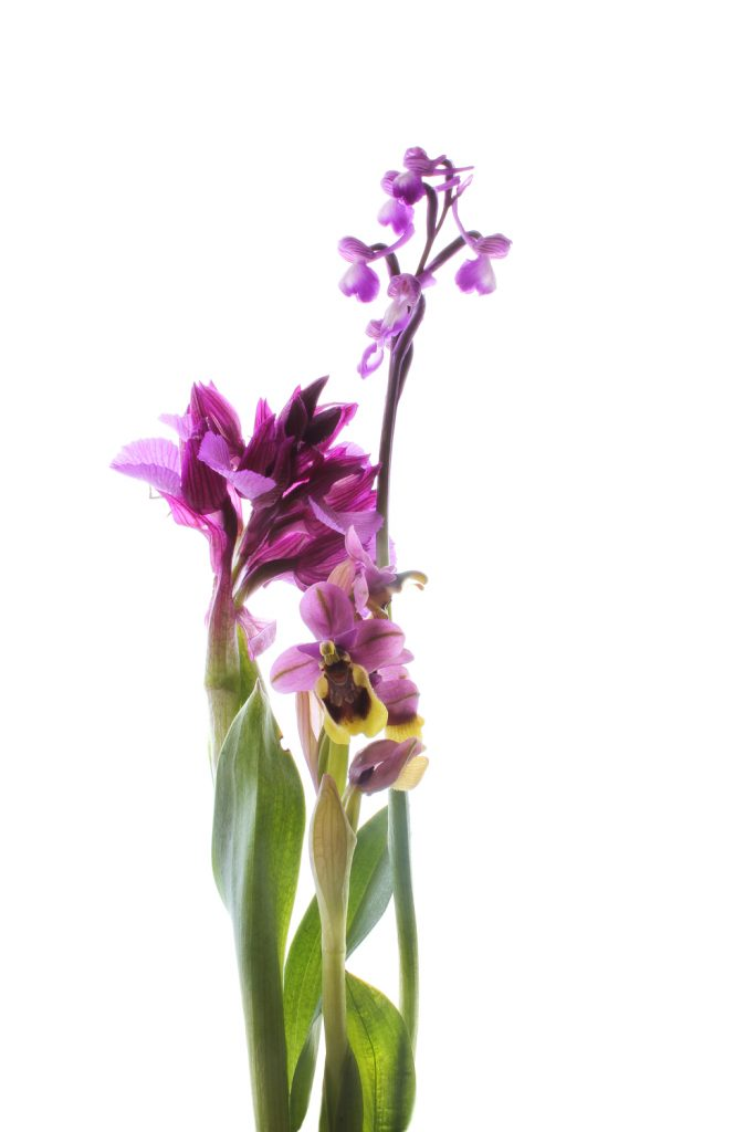 647 orquídeas