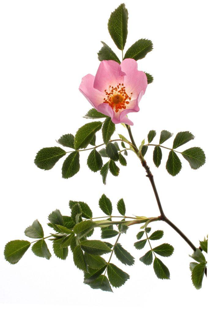 678 rosa