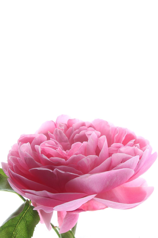 686 rosa