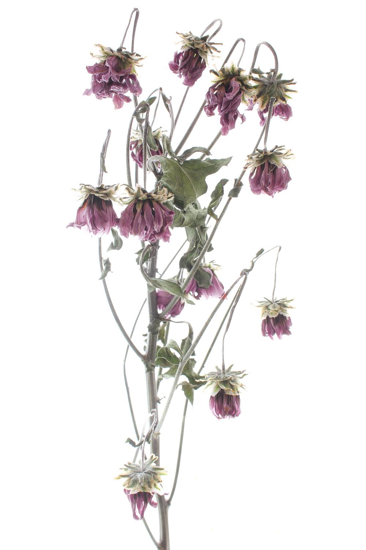 693 crisantemo
