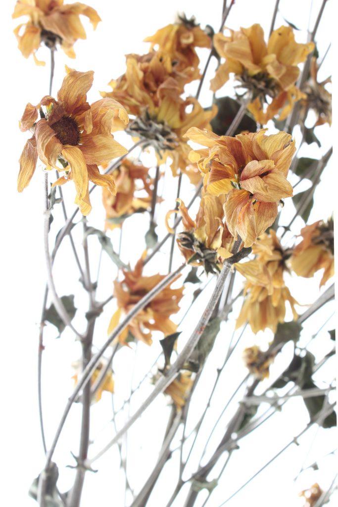 694 crisantemo