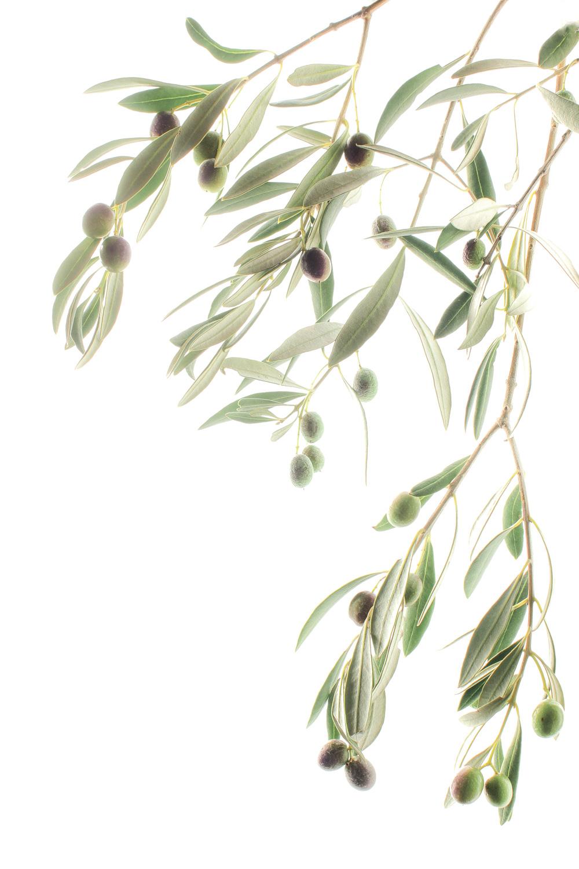 795b olivo