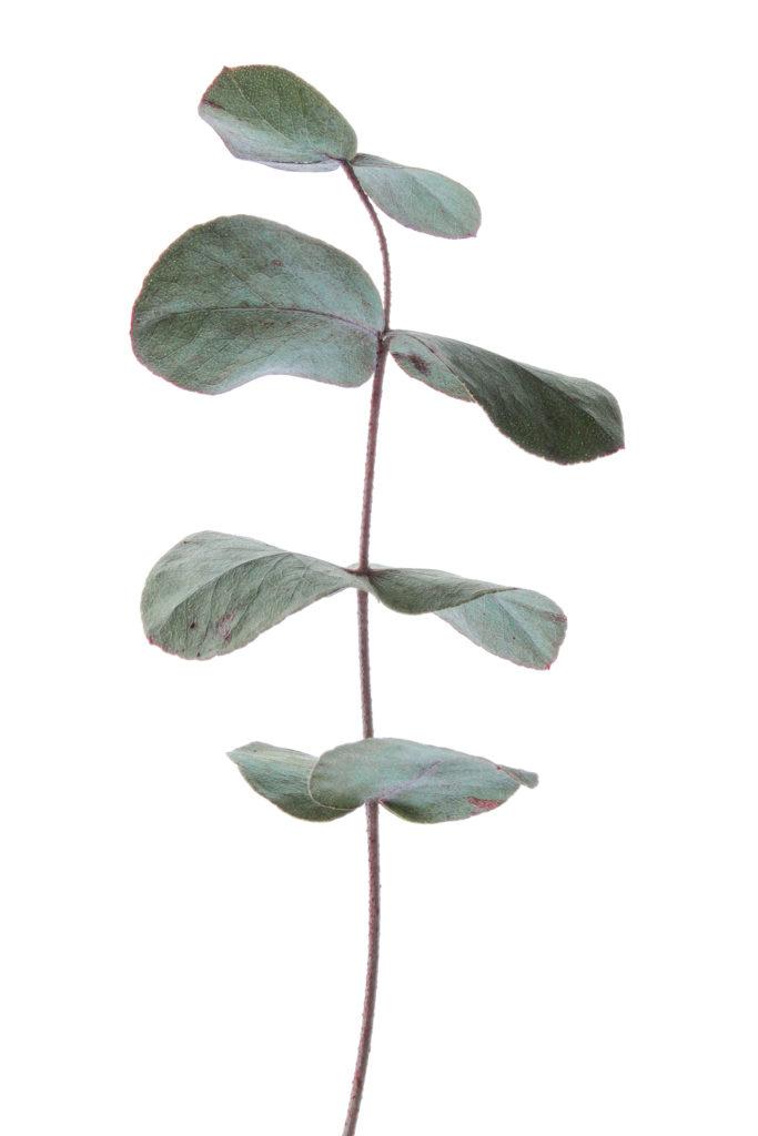 878 eucaliptos