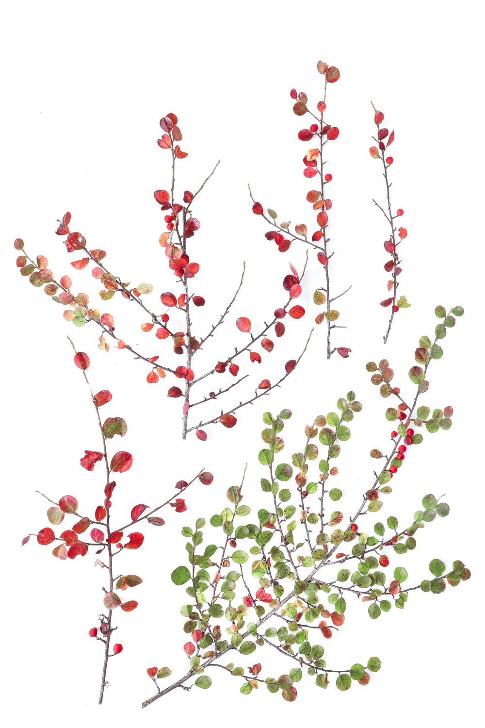 1046 cotoneaster