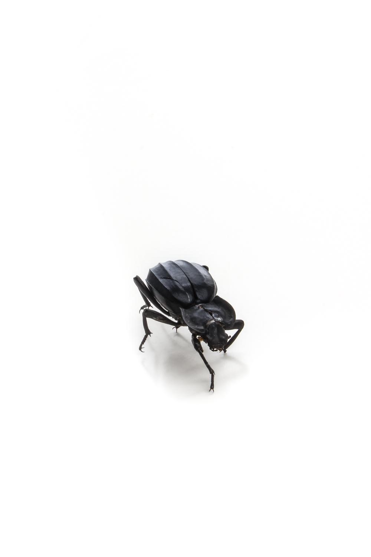 685 escarabajo