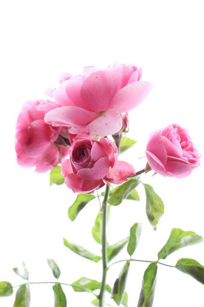 711 rosas