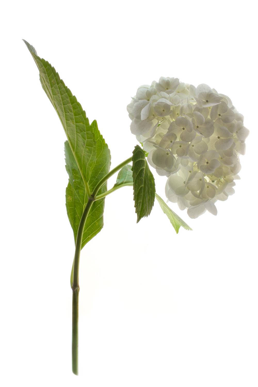 740 hortensia