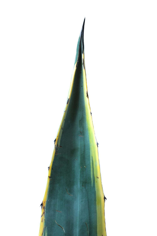 876 agave