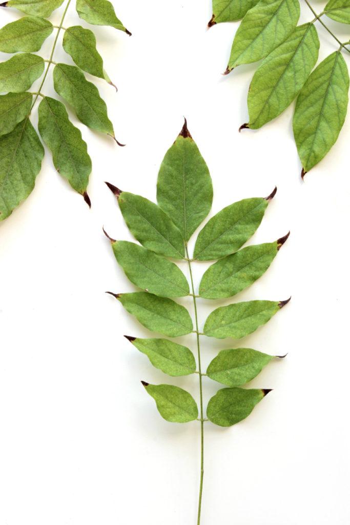 288 hojas wisteria