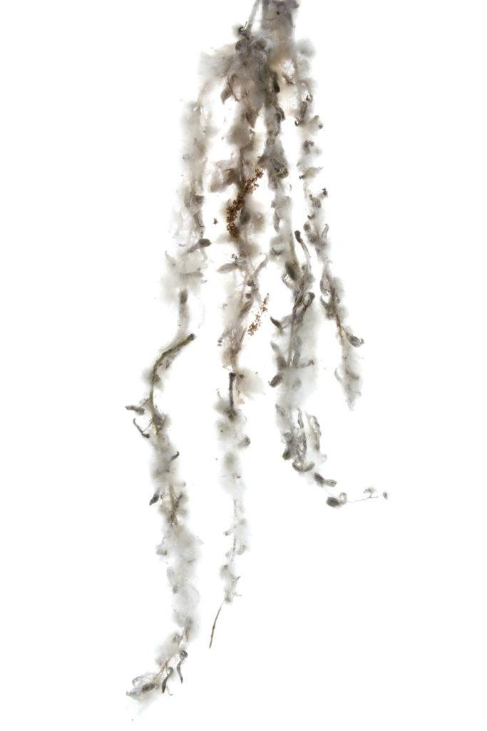 164 semillas álamo