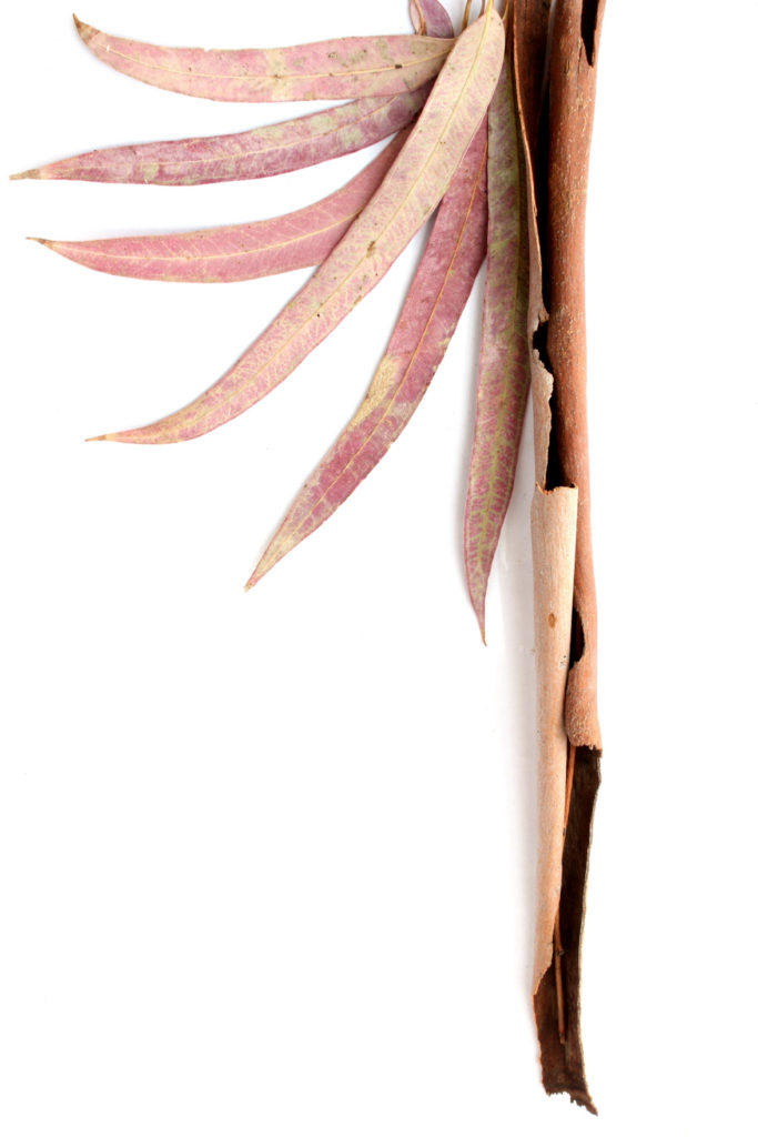182 corteza eucalipto