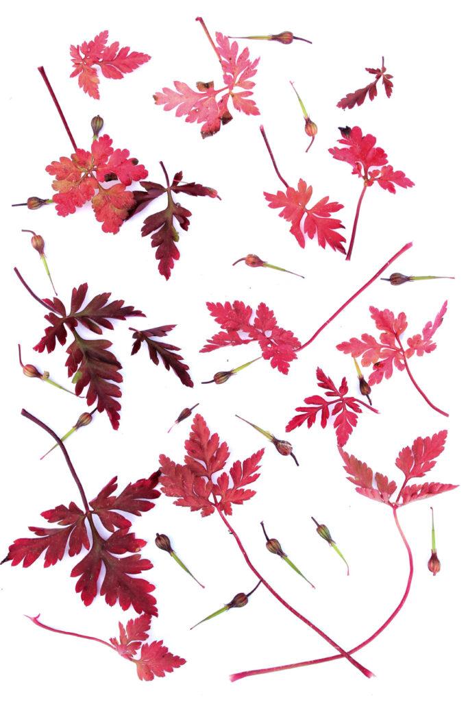 195 geranium