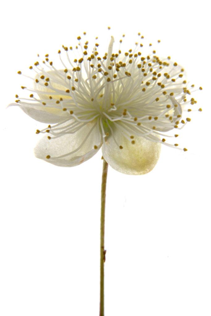 224 flor mirto