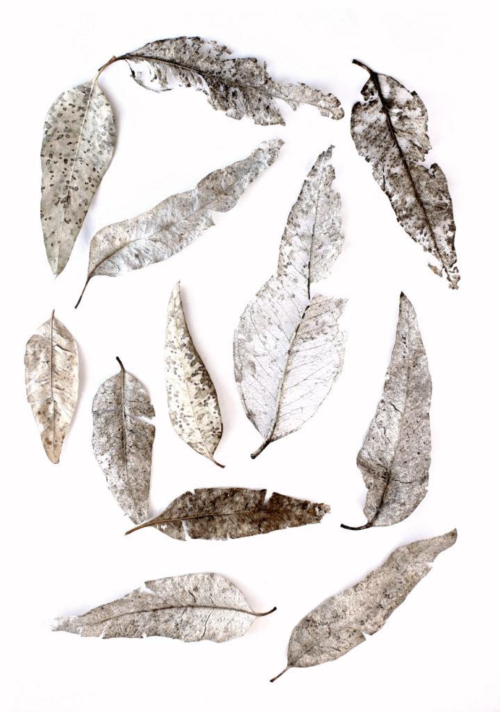 238 eucalipto