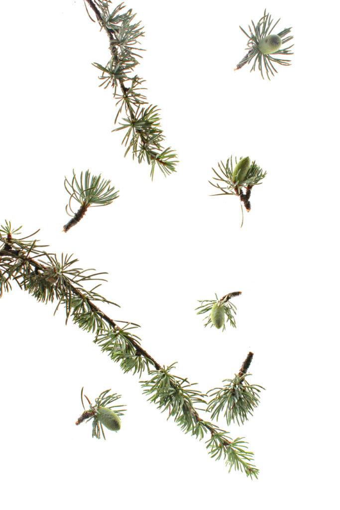 248 rama cedro