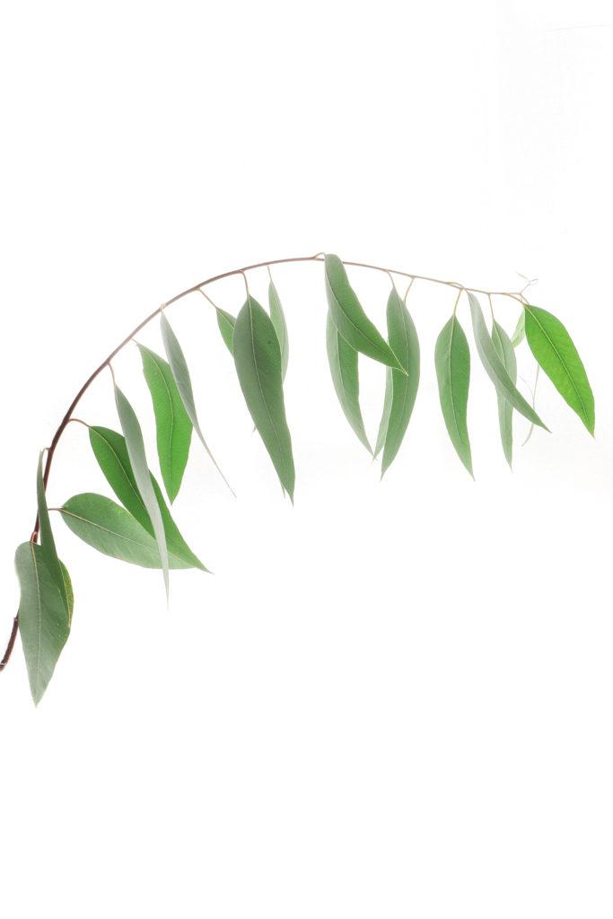 987 eucalipto