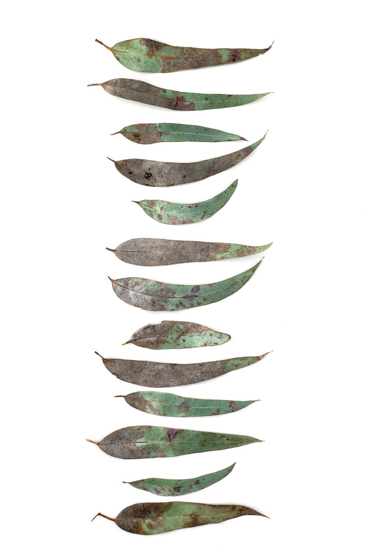 1079 hoja eucalipto