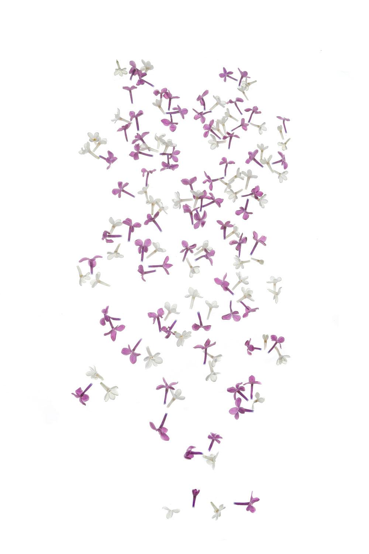 1161 lilas
