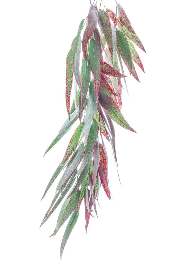1176 eucalipto