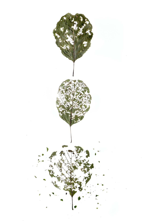 hojas avellano