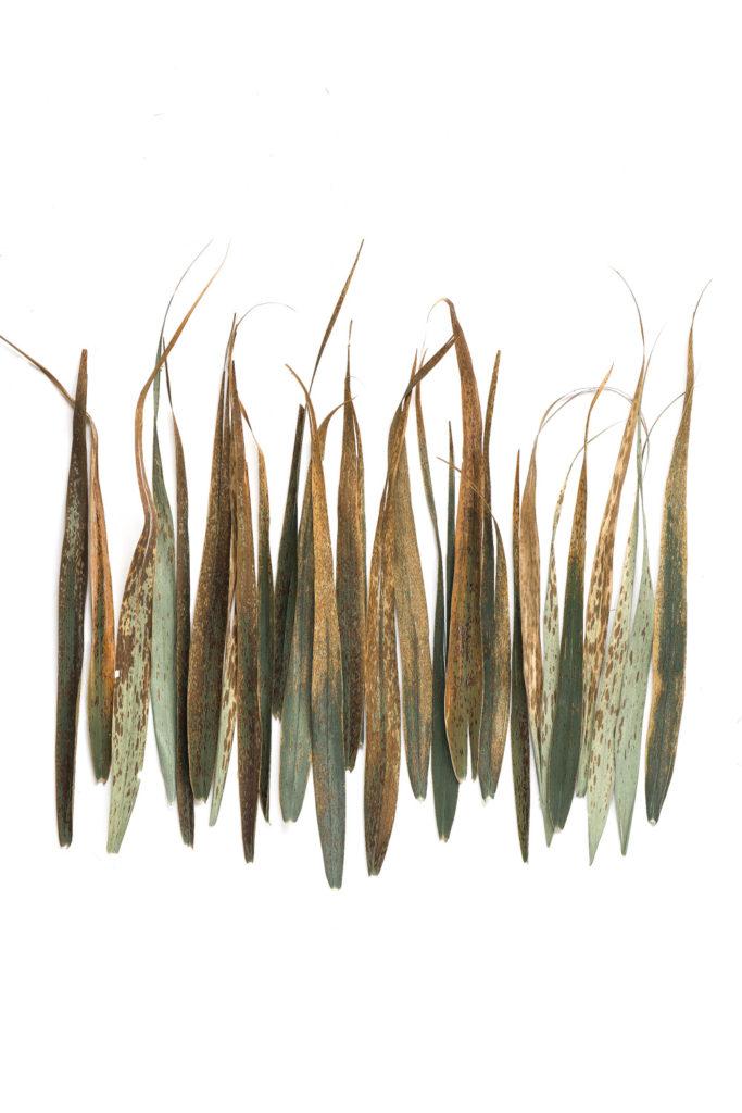 1315 hojas carrizo