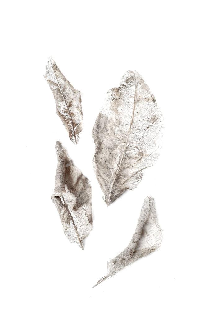 1347 eucalipto
