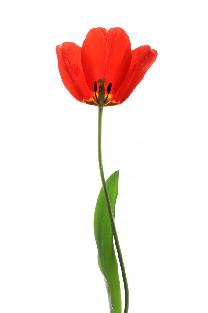 1437 tulipán