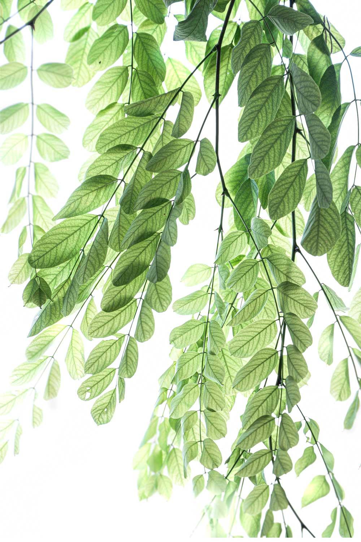1477 acacia