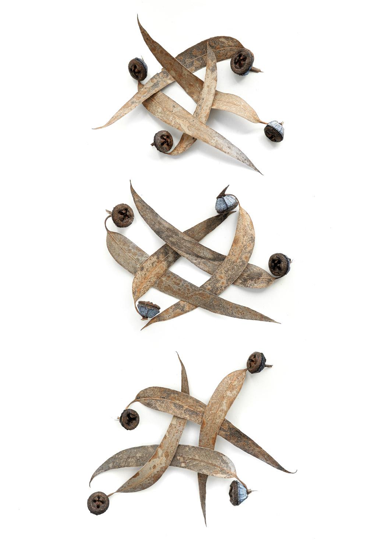 1621 eucaliptos