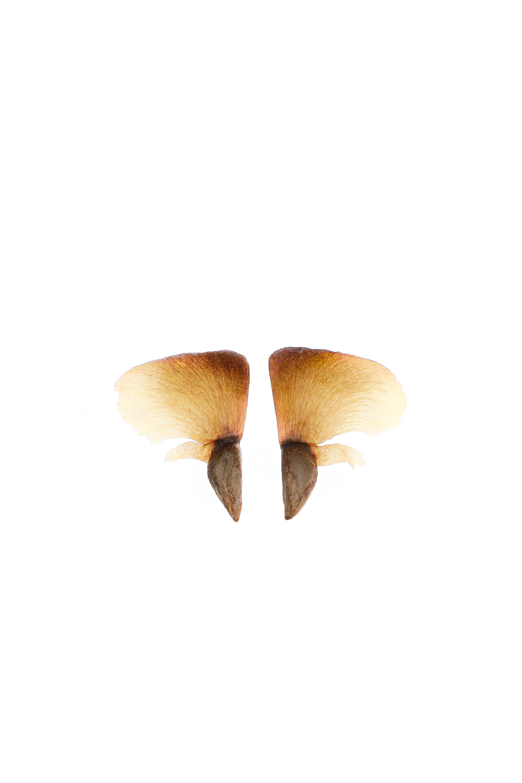 1635 semilla