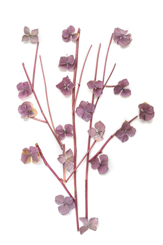1679 hortensias