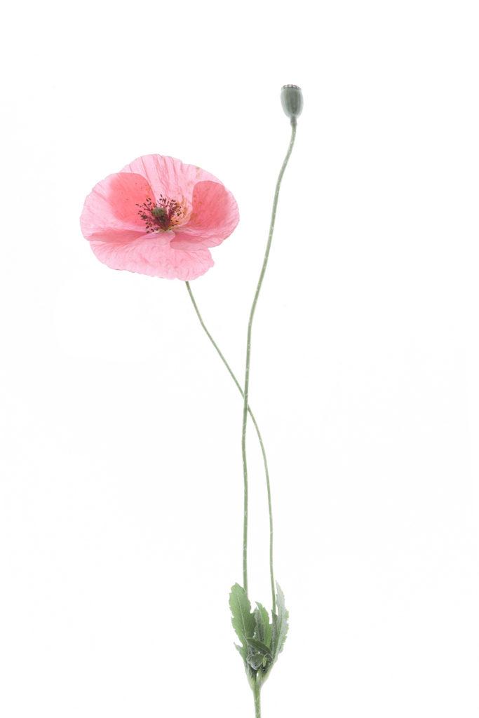 1698 amapola rosa