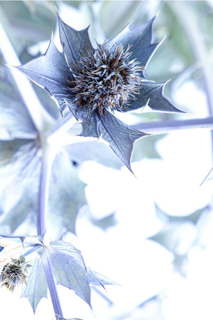 cardo azul