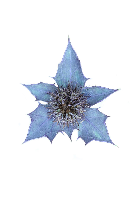 1723 cardo azul3