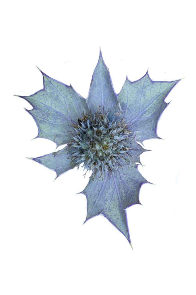 1724 cardo azul2