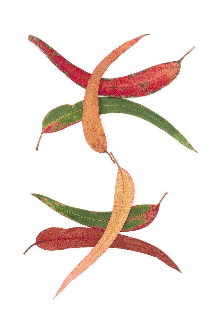 1740 eucalipto