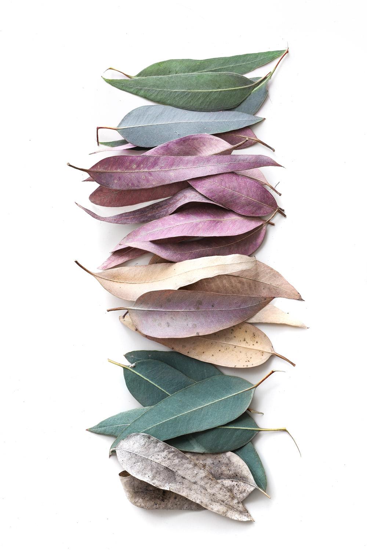 978 eucalipto
