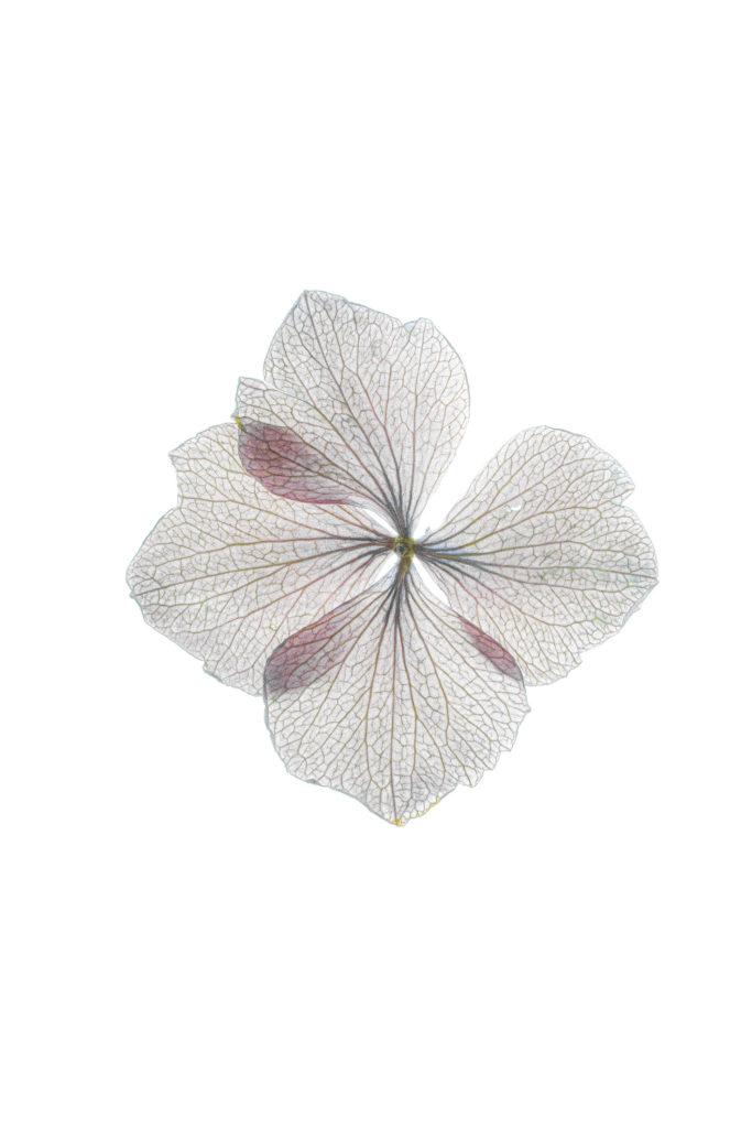 1804 hortensia